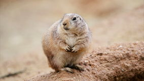 American prairie dog Royalty Free Stock Image