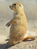American prairie dog sitting alert to attention, phoenix, arizon. Close up side profile of american prairie dog sitting on his haunches, phoenix, arizona, united Royalty Free Stock Image