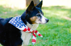 American Pride - Dog with Flag Scarf Royalty Free Stock Images