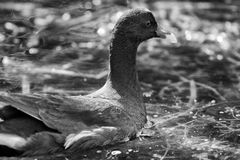American Purple Gallinule. Side black and white portrait of adult American Purple Gallinule bird Royalty Free Stock Images
