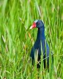 American Purple Gallinule bird Royalty Free Stock Photos
