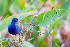 American Purple Gallinule eats a flower. The beautifully colored purple gallinule Porphyrio martinicus is a medium sized rail with big yellow feet and colorful Stock Image