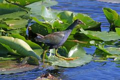 American Purple Gallinule. An American Purple Gallinule Porphyrio martinicus walking on lilypads in Everglades National Park, in Florida Stock Photography