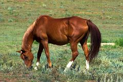 American Quarter Horse. Grazing in a country pasture Stock Image