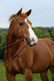 American Quarter Horse Royalty Free Stock Photos