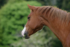 American quarter horse Royalty Free Stock Photo