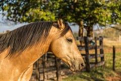 American Quarter Horse buckskin Stallion Royalty Free Stock Photography