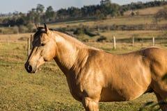 American Quarter Horse buckskin Stallion Stock Photos