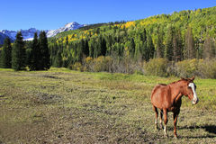 American quarter horse in a field, Rocky Mountains, Colorado Royalty Free Stock Photo