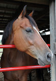 American Quarter Horse Mare. A beautiful American Quarter Horse mare stares out at the world from her stall doorway Royalty Free Stock Image