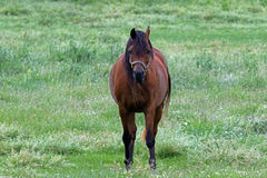 An American Quarter Horse Stock Image