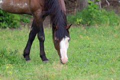 An American Quarter Horse Royalty Free Stock Images