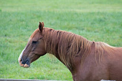 An American Quarter Horse in a Pasture Stock Photography