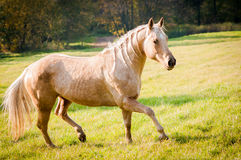American Quarter Horse Royalty Free Stock Image