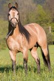 American Quarter horse posing stallion Royalty Free Stock Images