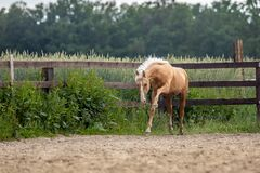 American Quarter Horse   running free on a  meadow