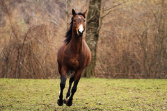 american quarter horse stallion Royalty Free Stock Photography