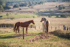 American Quarter Horses in the farm Stock Image