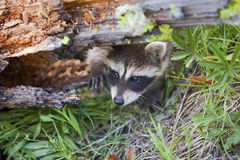 American Raccoon Procyon lotor Royalty Free Stock Photos