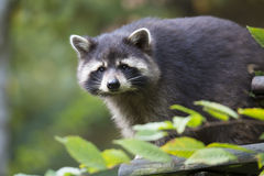 American raccoon, Procyon lotor, on the tree Stock Photo
