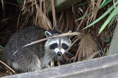 American raccoon in the forest stock photo