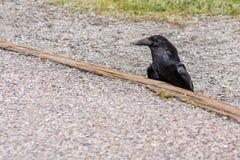 American Raven, Common Raven stock image