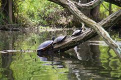 American red-bellied turtle group sitting on the log above the water. Royalty Free Stock Photography