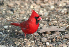American Red Cardinal. Male Red American Cardinal posing between acorn shells in Indianapolis,Indiana royalty free stock images