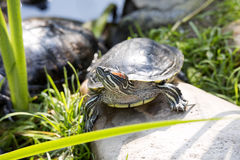 American Red-eared slider, Trachemys scripta elegans, has spread in southern Europe Stock Photo