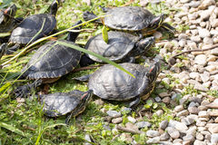 American Red-eared slider, Trachemys scripta elegans, has spread in southern Europe Royalty Free Stock Images