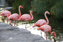 American red flamingos pack in the lake. Royalty Free Stock Image