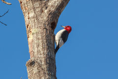 American Red-Headed Woodpecker Stock Photos