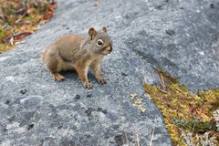 American red squirrel Stock Images