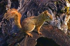 American Red Squirrel. Tamiasciurus hudsonicus 0n a tree stump near Sicamous,BC,Canada Royalty Free Stock Images