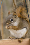 American Red Squirrel Royalty Free Stock Photo