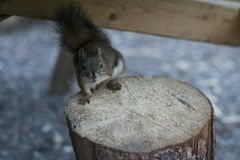 American red squirrel begging for food royalty free stock images