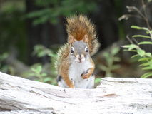 American Red Squirrel Stock Photo