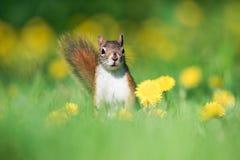 American Red Squirrel In Dandelion Field, Toronto Stock Photo
