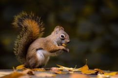 American Red Squirrel eating a peanut. Royalty Free Stock Photo
