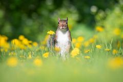 American Red Squirrel In Field Of Dandelions Stock Image