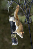 American Red Squirrel hanging from feeder Stock Photography