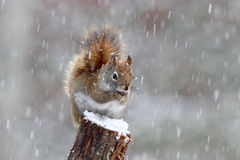 American Red Squirrel In A Winter Snow Storm Stock Photo