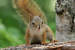 American Red Squirrel on Log - Ontario, Canada Stock Photo