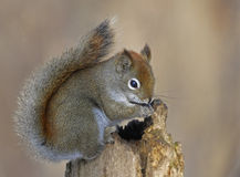 American red squirrel. On the log in the woods stock images