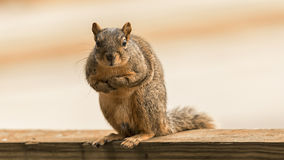 An american red squirrel looking at camera Royalty Free Stock Photos