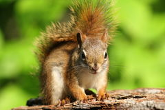 American Red Squirrel - Ontario, Canada Royalty Free Stock Photo