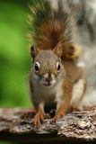 American Red Squirrel - Ontario, Canada Stock Photography