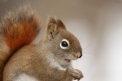 American Red Squirrel Portrait Royalty Free Stock Photos