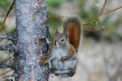 American red squirrel scratching his belly Stock Photos