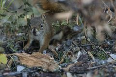American red squirrel searching for food stock photo